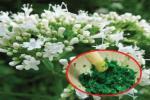 Kỳ lạ: Loại cây lành tính giúp người mất ngủ 7 năm lại ngủ ngon, sâu giấc sau 3 tháng